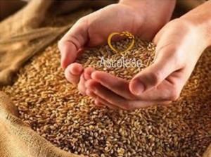 grano antico di Tumminia
